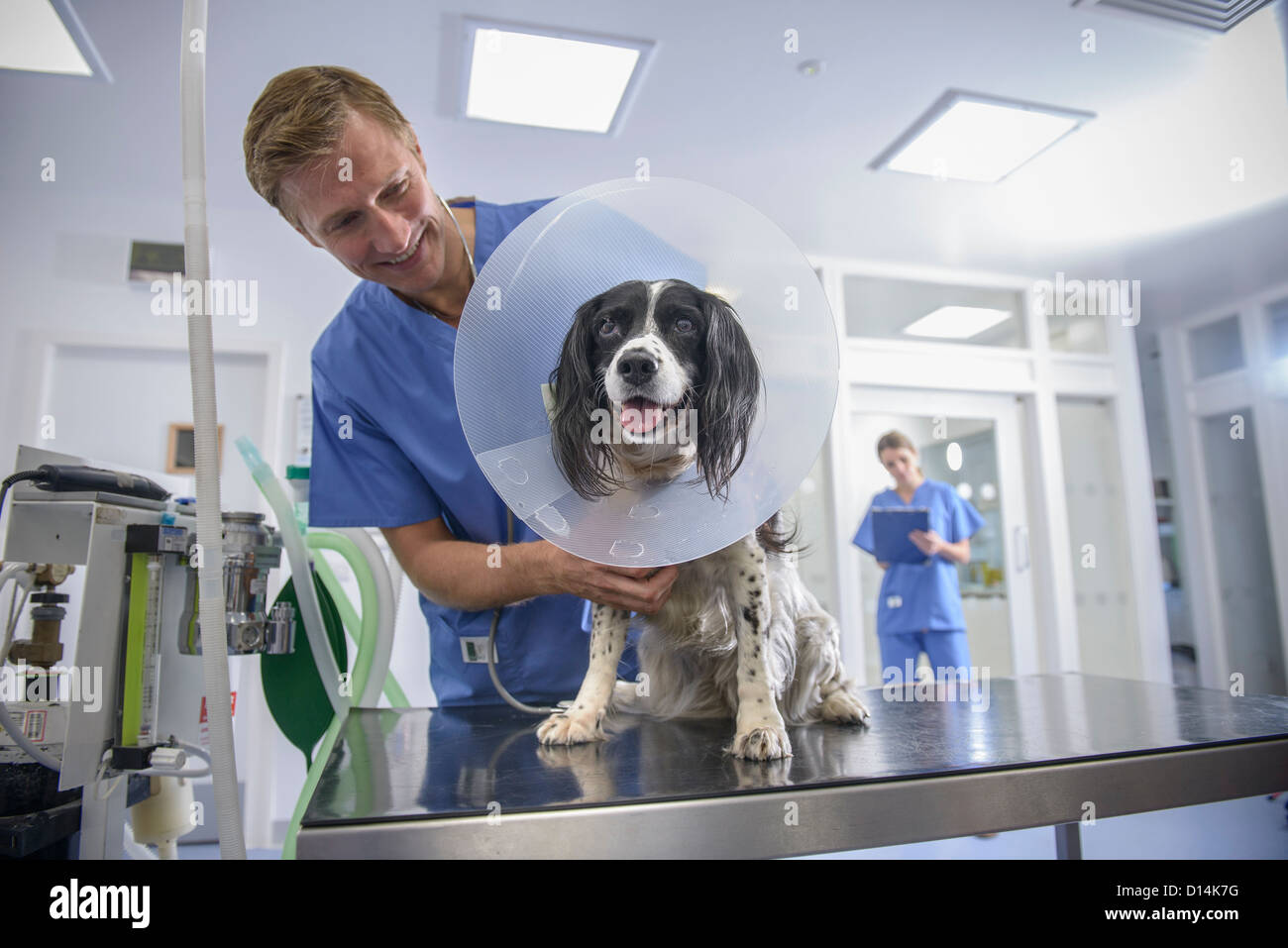 Veterinarian examining dog in cone - Stock Image