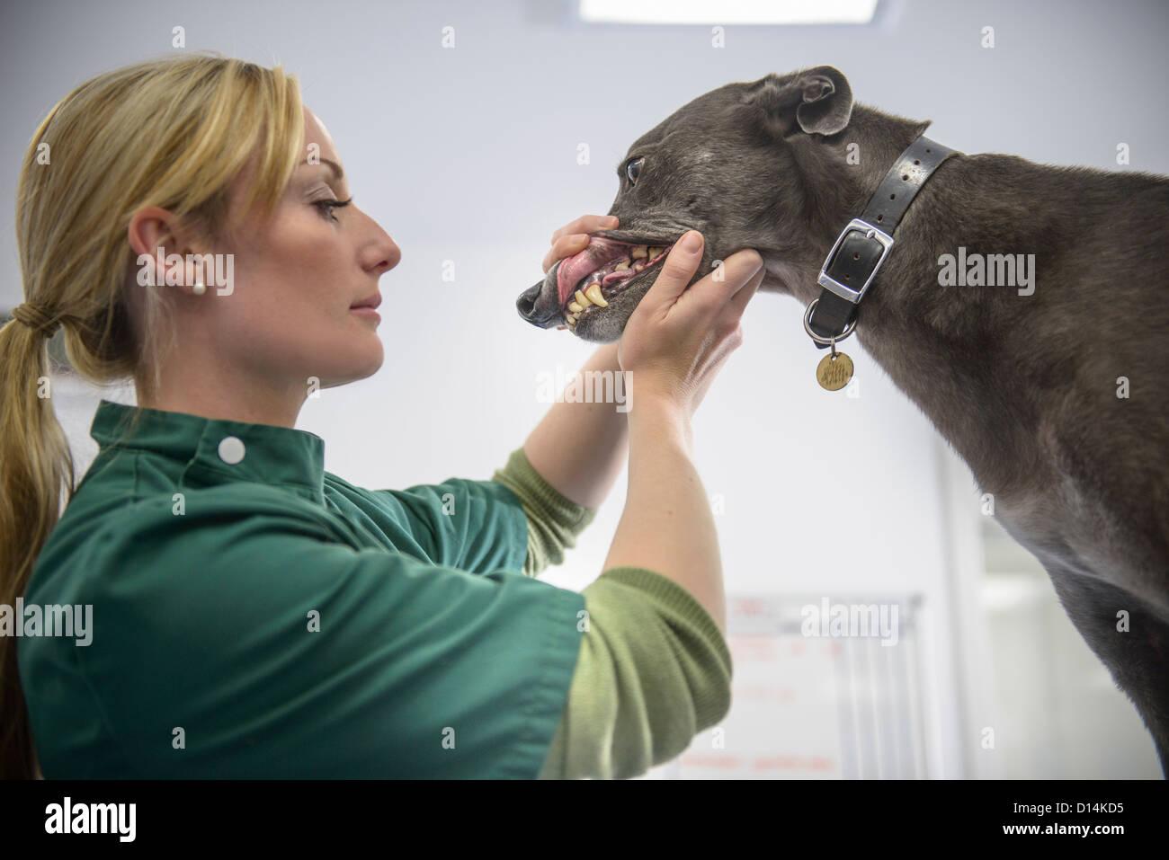 Veterinary nurse examining dog - Stock Image