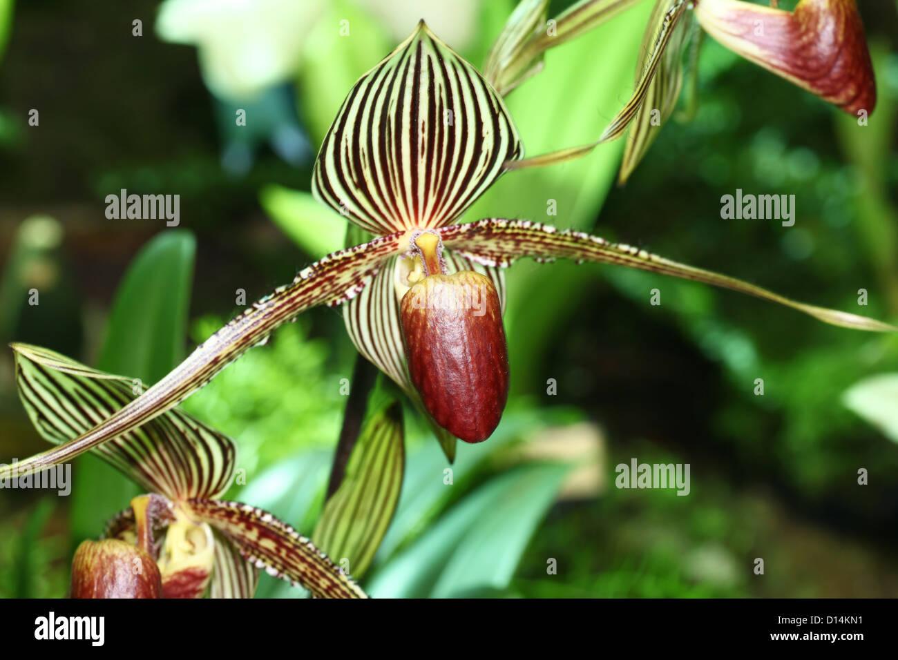 Rothschild's Slipper Orchid (Paphiopedilum rothschildianum) - Stock Image