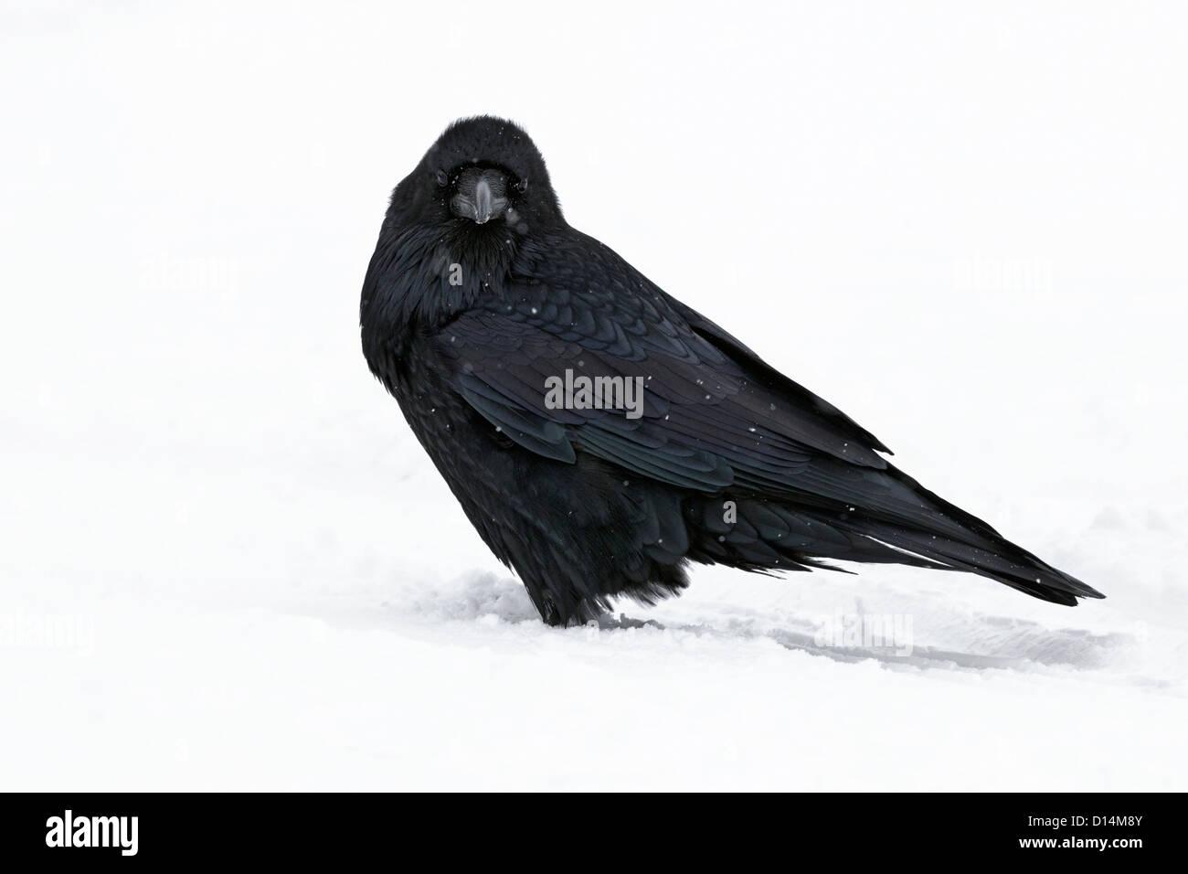 winter Raven in snow shower - Stock Image