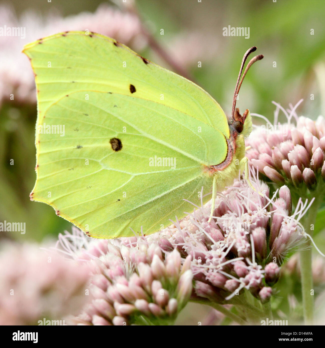 Extremely detailed macro close-up of a Common Brimstone (Gonepteryx rhamni) feeding on nectar - Stock Image