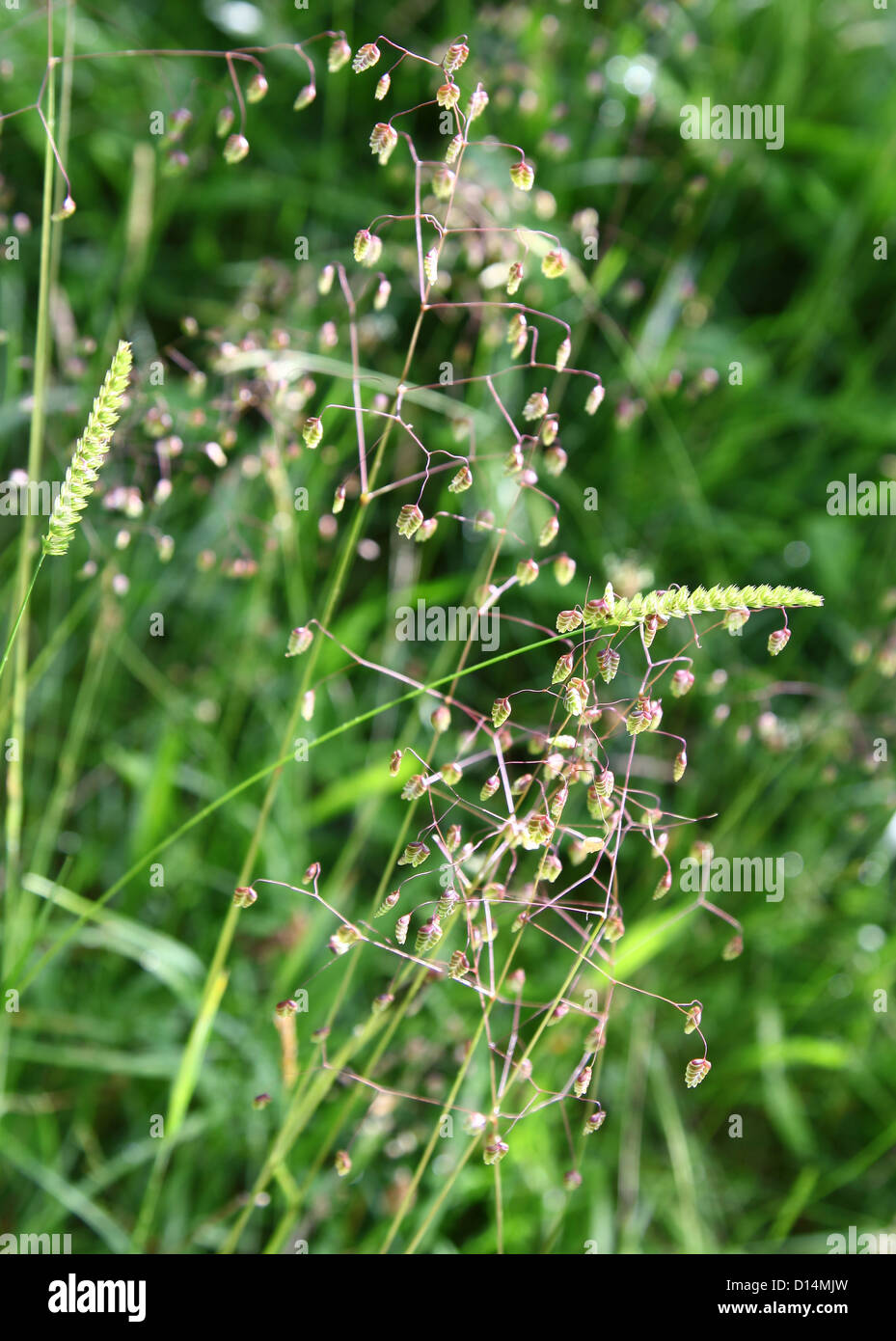 Quaking grass (Briza media) and Crested Dog's-tail grass (Cynosurus cristatus)  in a field England UK - Stock Image