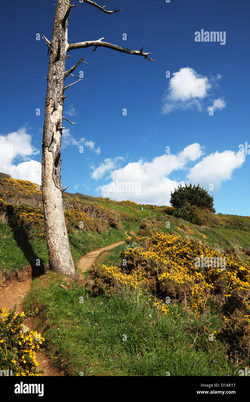 Dead tree, gorse and coastal footpath, Cornwall. - Stock Image