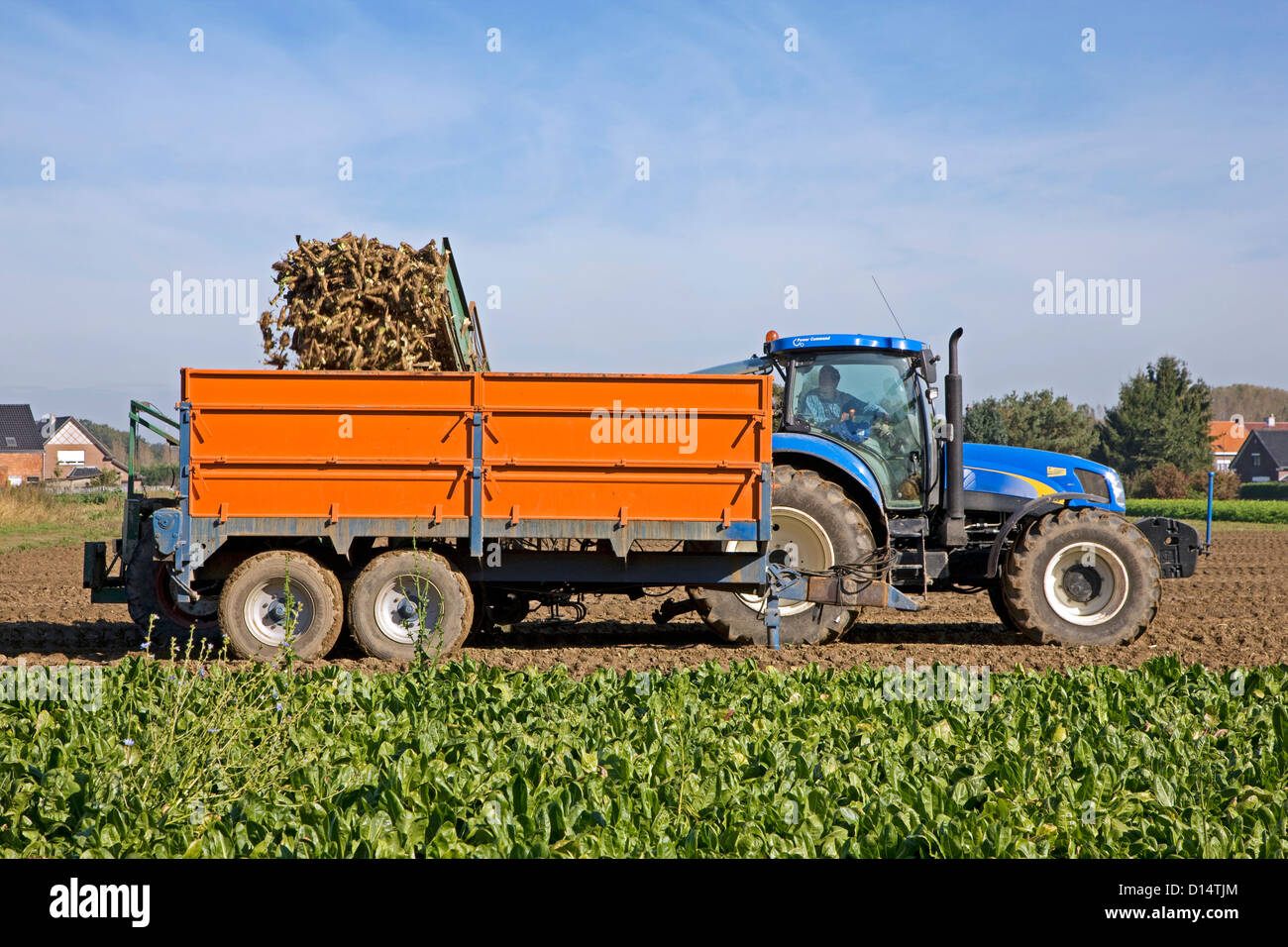 Field with cultivated chicory plants being raised by farmer riding tractor with harvester - Stock Image