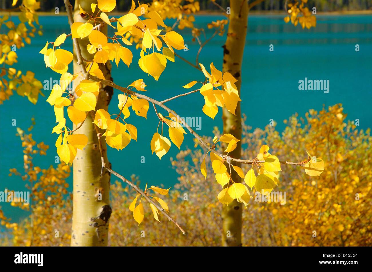Aspen trees in Fall, Lower Waterfowl Lake, Banff National Park, Alberta, Canada - Stock Image
