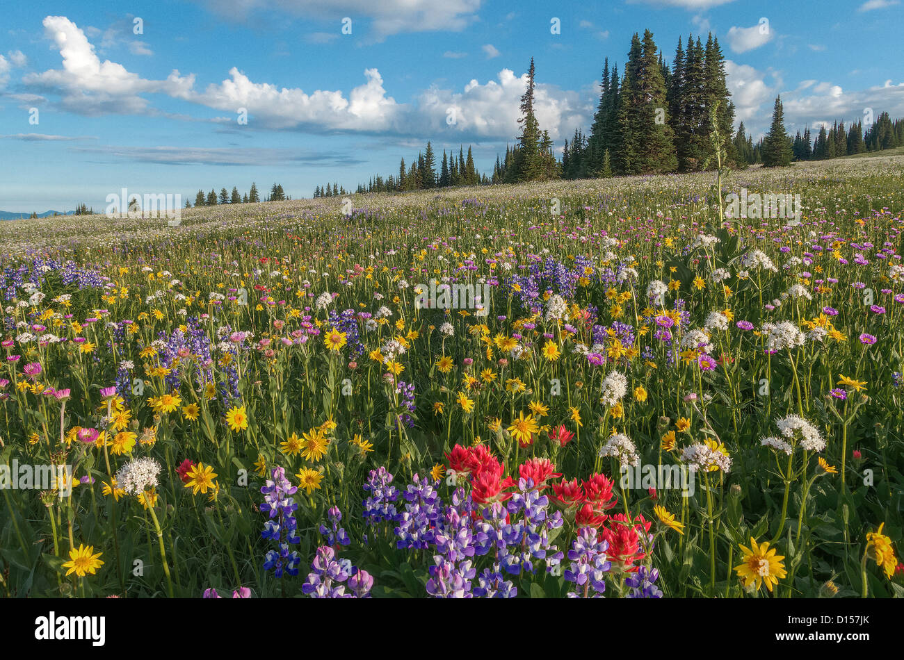 Wildflowers, Trophy Meadows, Wells Gray Provincial Park, British Columbia, Canada - Stock Image
