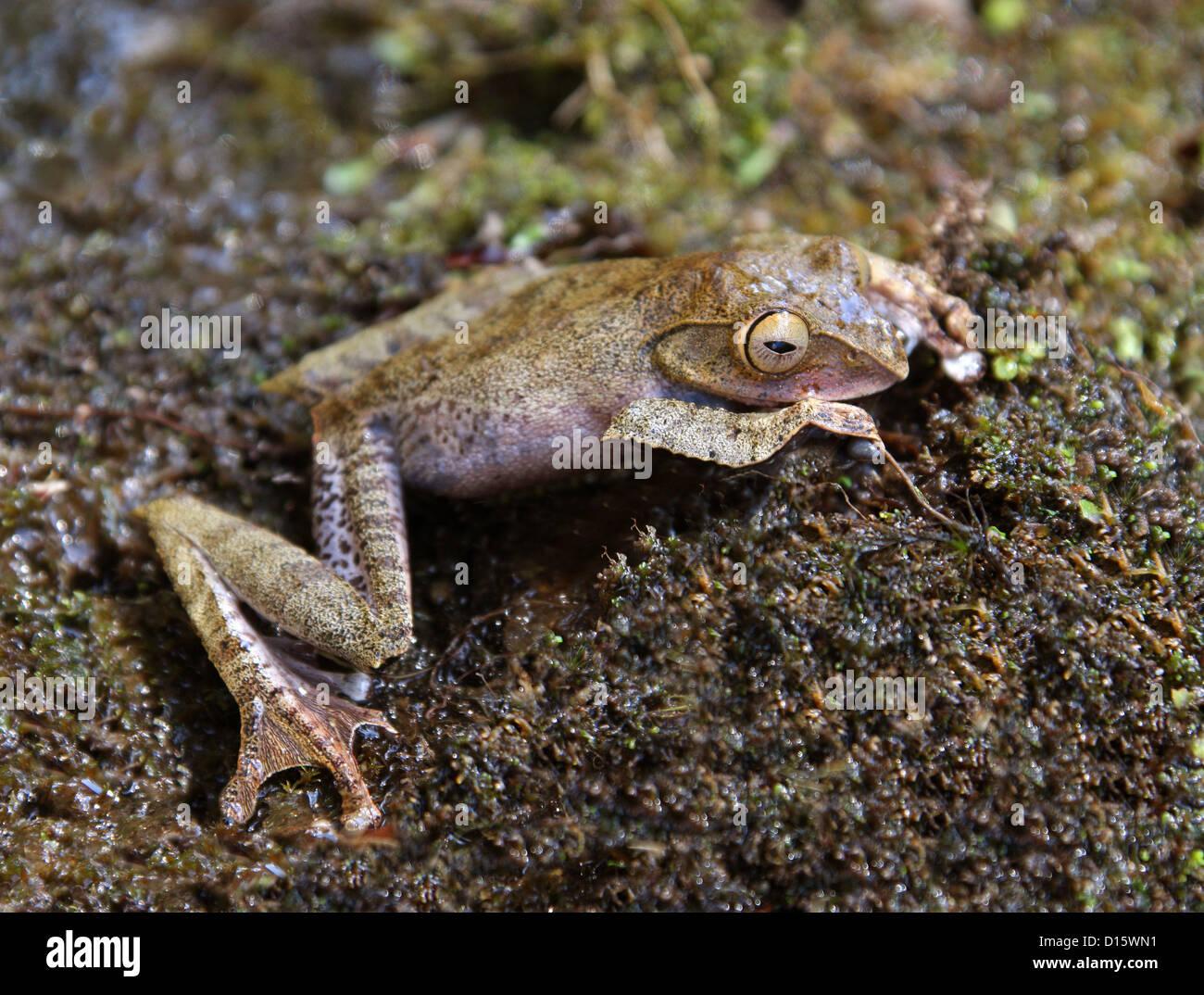 Bright-eyed Madagascan Tree Frog, Boophis madagascariensis, Boophinae, Mantellidae, Anura, Amphibia. Madagascar, - Stock Image