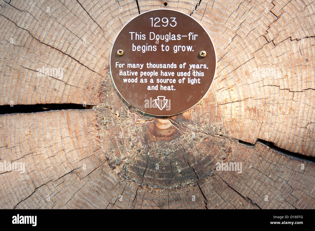 Tree-ring dating on a Douglas-fir. - Stock Image