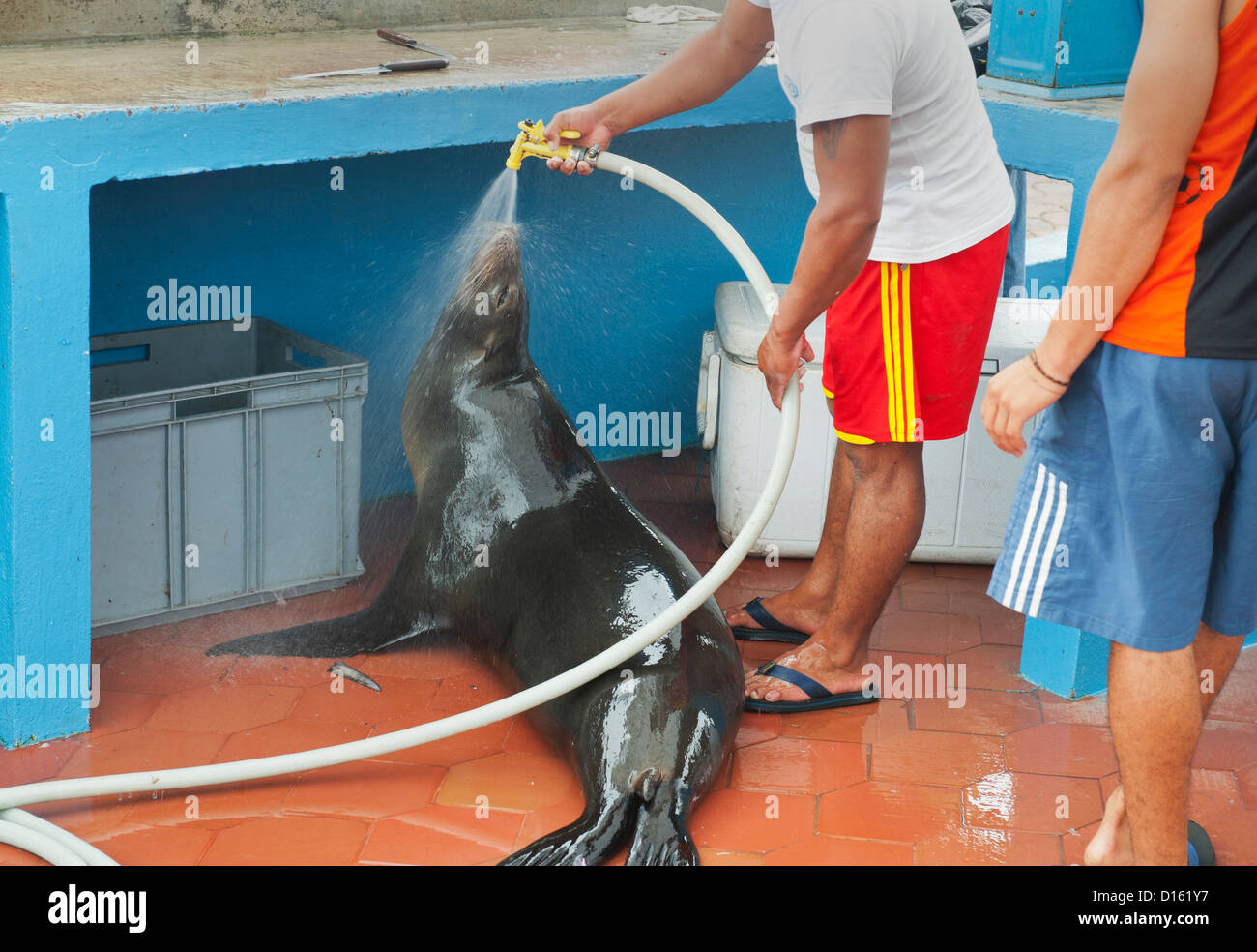 Galapagos Sea Lion (Zalophus wollebaeki) gets a shower  at Fish Market, Puerto Ayora,   Galapagos Islands, Ecuador - Stock Image