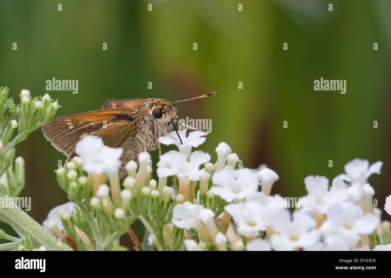 A Silver-Spotted Skipper Butterfly Sucking Nectar from a flower in a garden - Stock Image