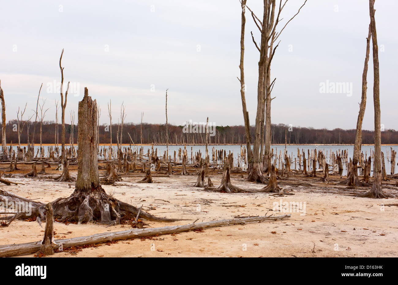 Dead Trees in the forest around a lake with low water levels - Stock Image