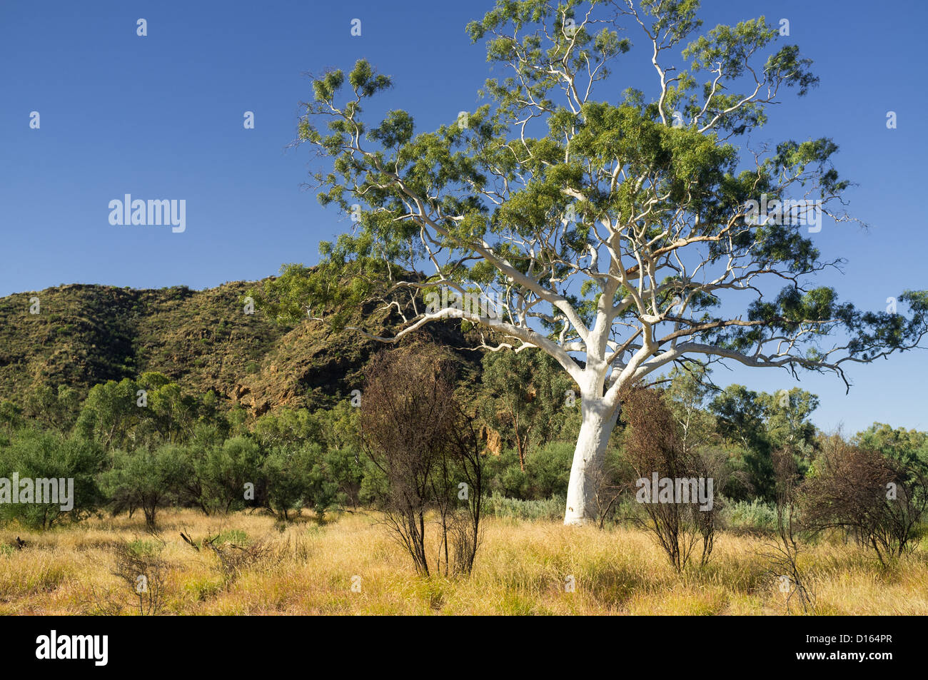Giant ghost gum near Trephina Gorge in East MacDonnell Ranges east of Alice Springs, in the Red Centre of the Northern - Stock Image