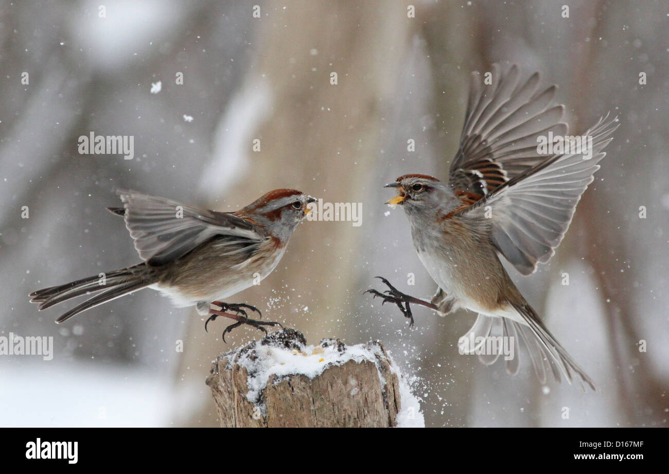 American tree sparrows fighting in canadian winter for food. Stock Photo