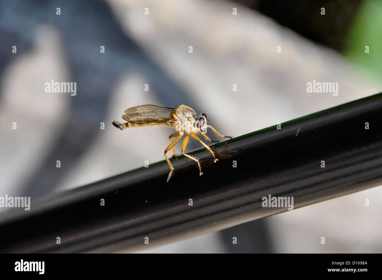 Robberfly (Fam; Asilidae) - Stock Image