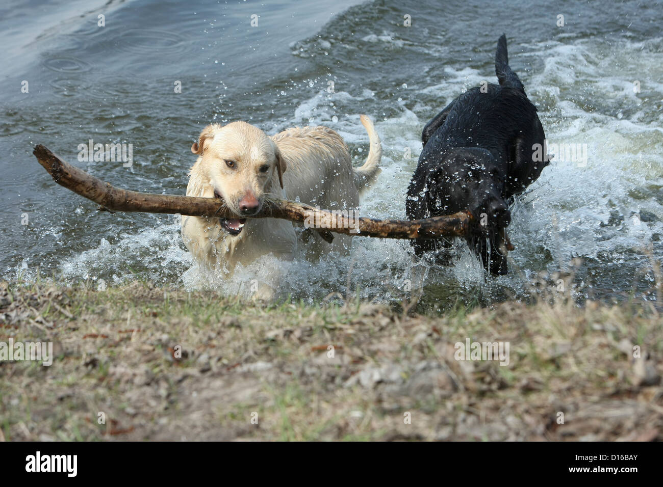 Playing dogs, Canis lupus familiaris, Feldberg, Feldberger Seenlandschaft, Mecklenburg-Vorpommern, Germany - Stock Image