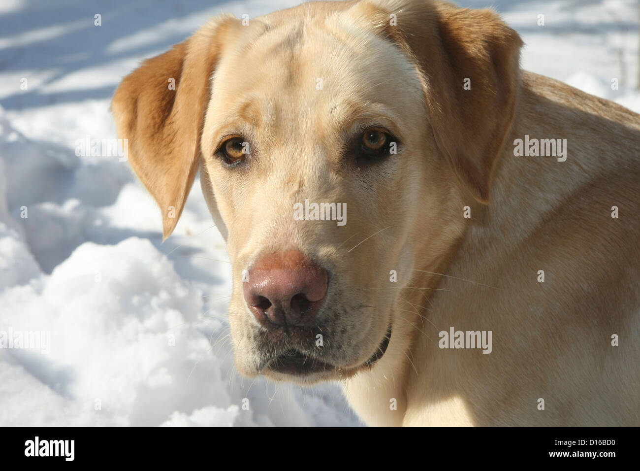 Labrador Retriever, Canis lupus familiaris, Feldberg, Feldberger Seenlandschaft, Mecklenburg-Vorpommern, Germany Stock Photo