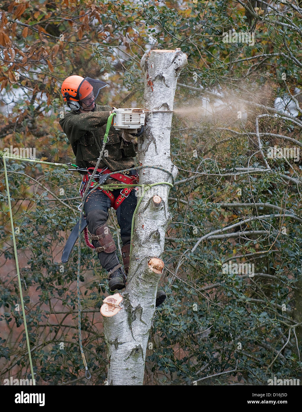 Silver Birch Tree being Felled by a Man with a Chain Saw -1 - Stock Image