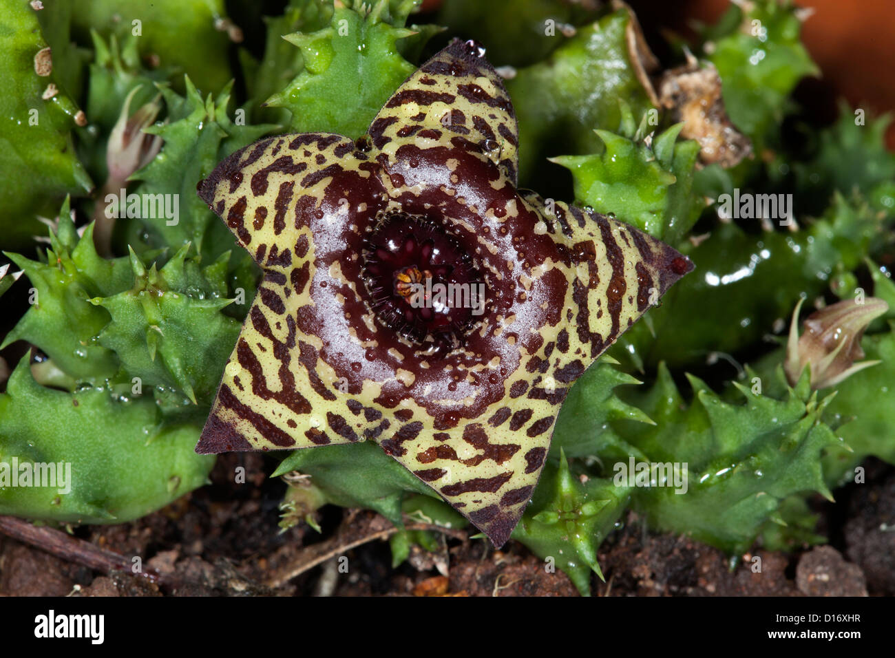 Star Shaped Brown And Yellow Flower Of Huernia Zebrina A Succulent