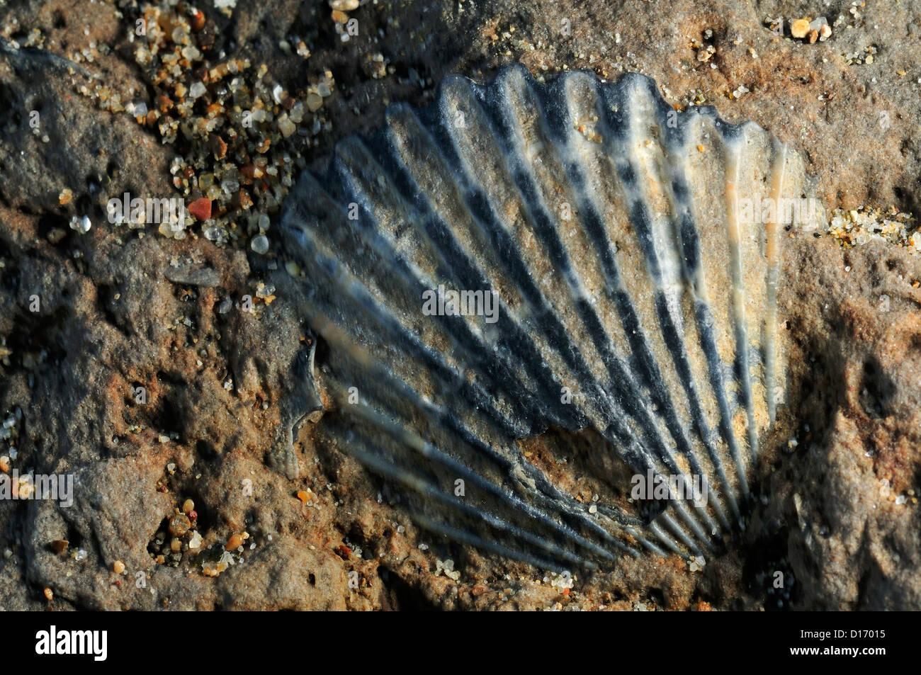 Bivalve fossil Pseudopecten equivalvis, Mollusca Tor Caldara Lavinio, Rome, Lazio, Italy - Stock Image
