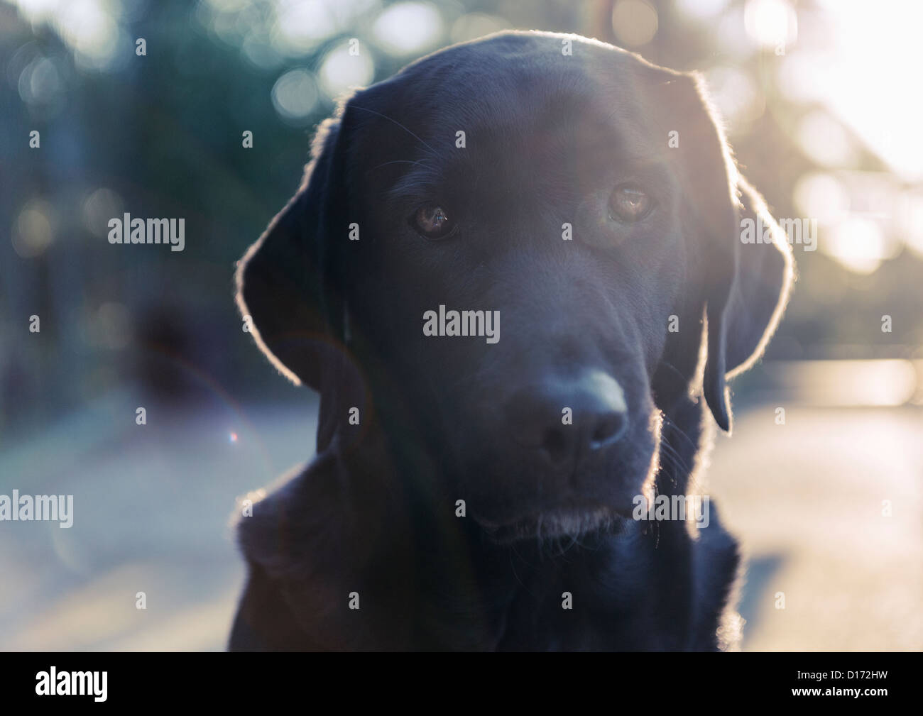Portrait of a Labrador. - Stock Image