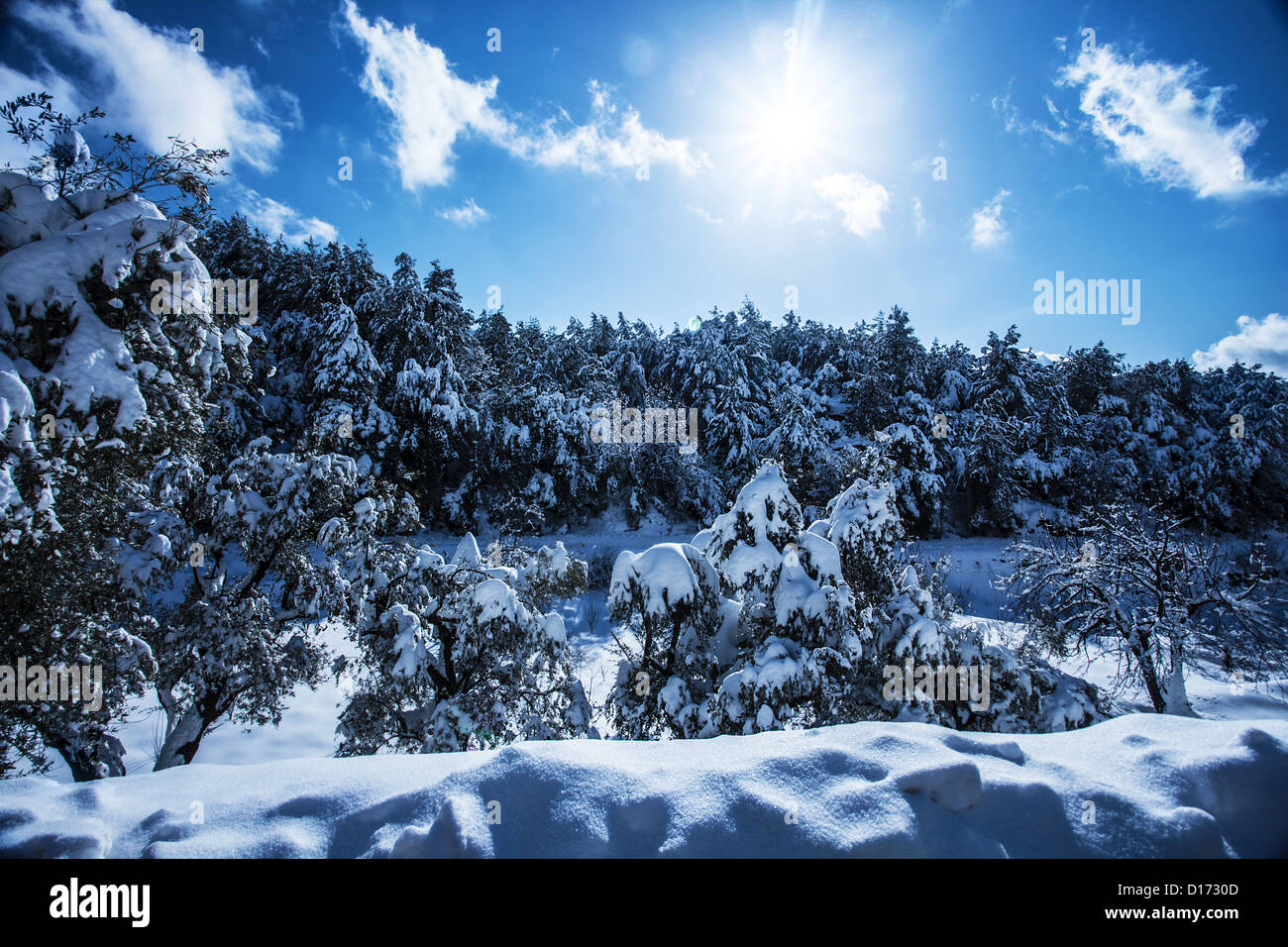 Photo of beautiful snowy forest in the mountain, bright sun shine in blue sky, woods covered white snow - Stock Image
