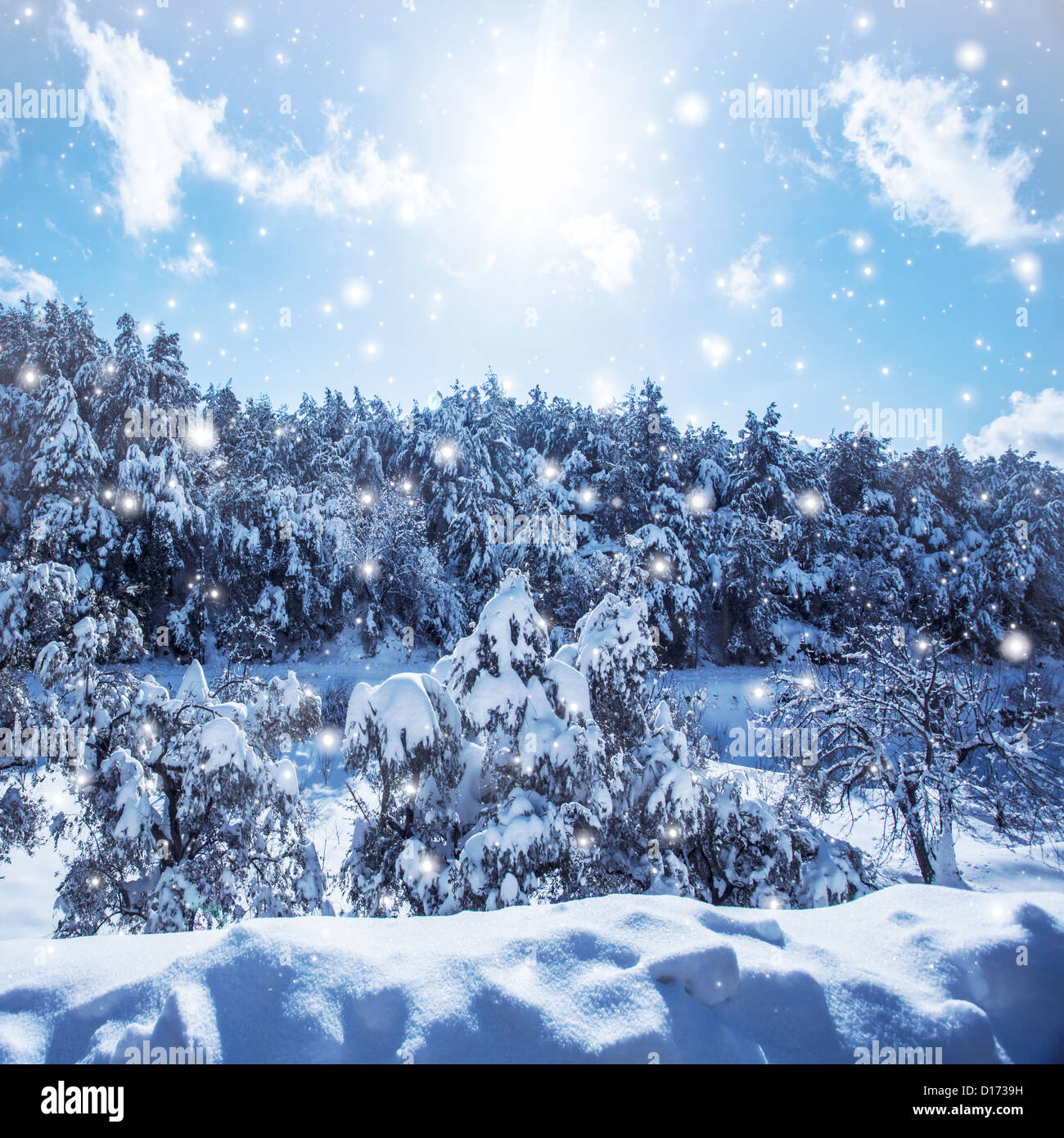 Image of snowfall in woods, fir tree forest covered with white snow, snowy coniferous tree in the mountains, cold - Stock Image