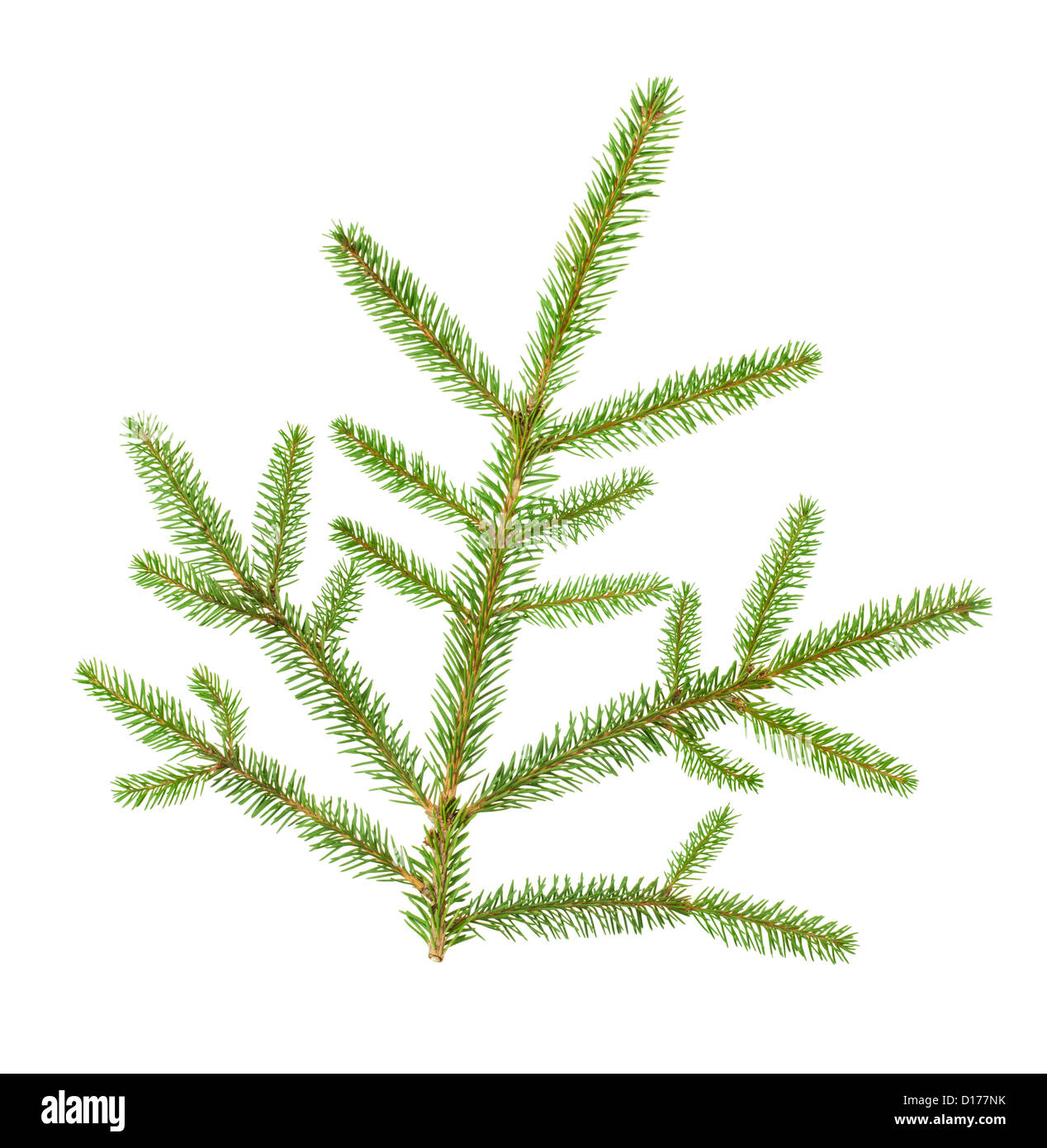 christmas tree branch on white background - Stock Image