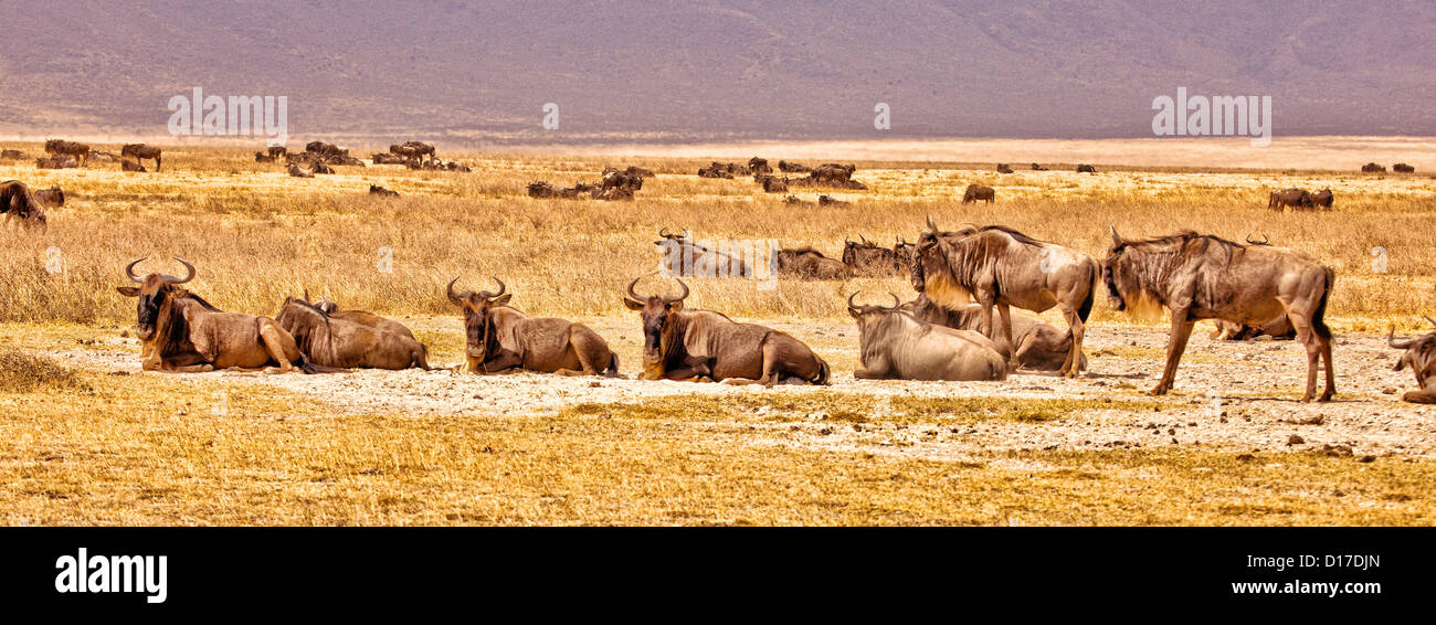 A herd of wildebeest in Africa;Tanzania;Ngorongoro Crater;Park;Safari wildlife park - Stock Image