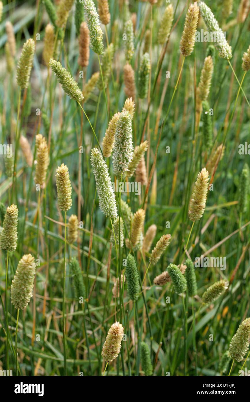 Bulbous Canary Grass, Phalaris aquatica, Poaceae. S. Europe, Australia, Worldwide. - Stock Image