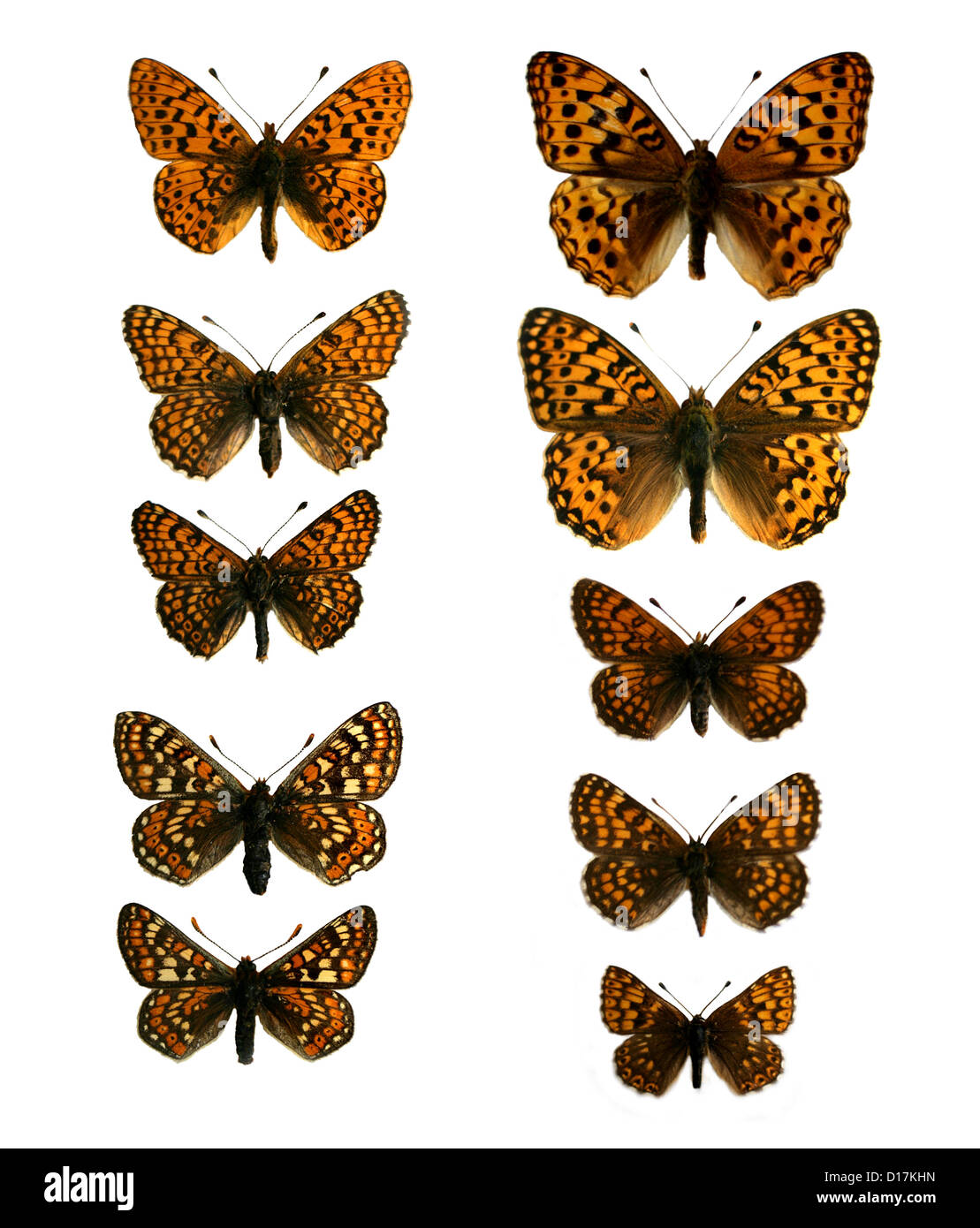 A Group of Mounted Specimen Fritillary Butterflies. Nymphalidae, Lepidoptera. - Stock Image