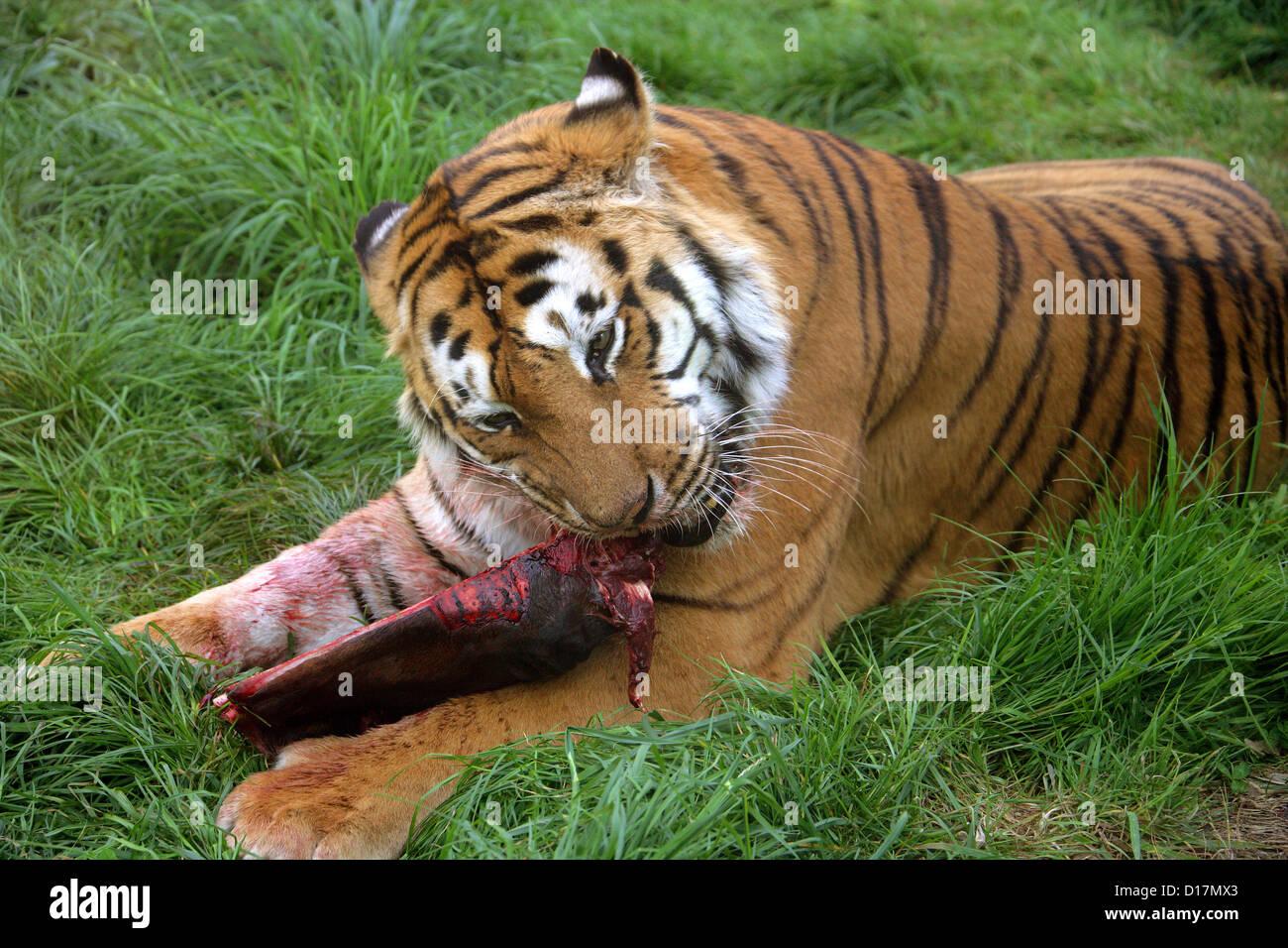 Siberian Tiger Feeding, Panthera tigris altaica, Felidae - Stock Image