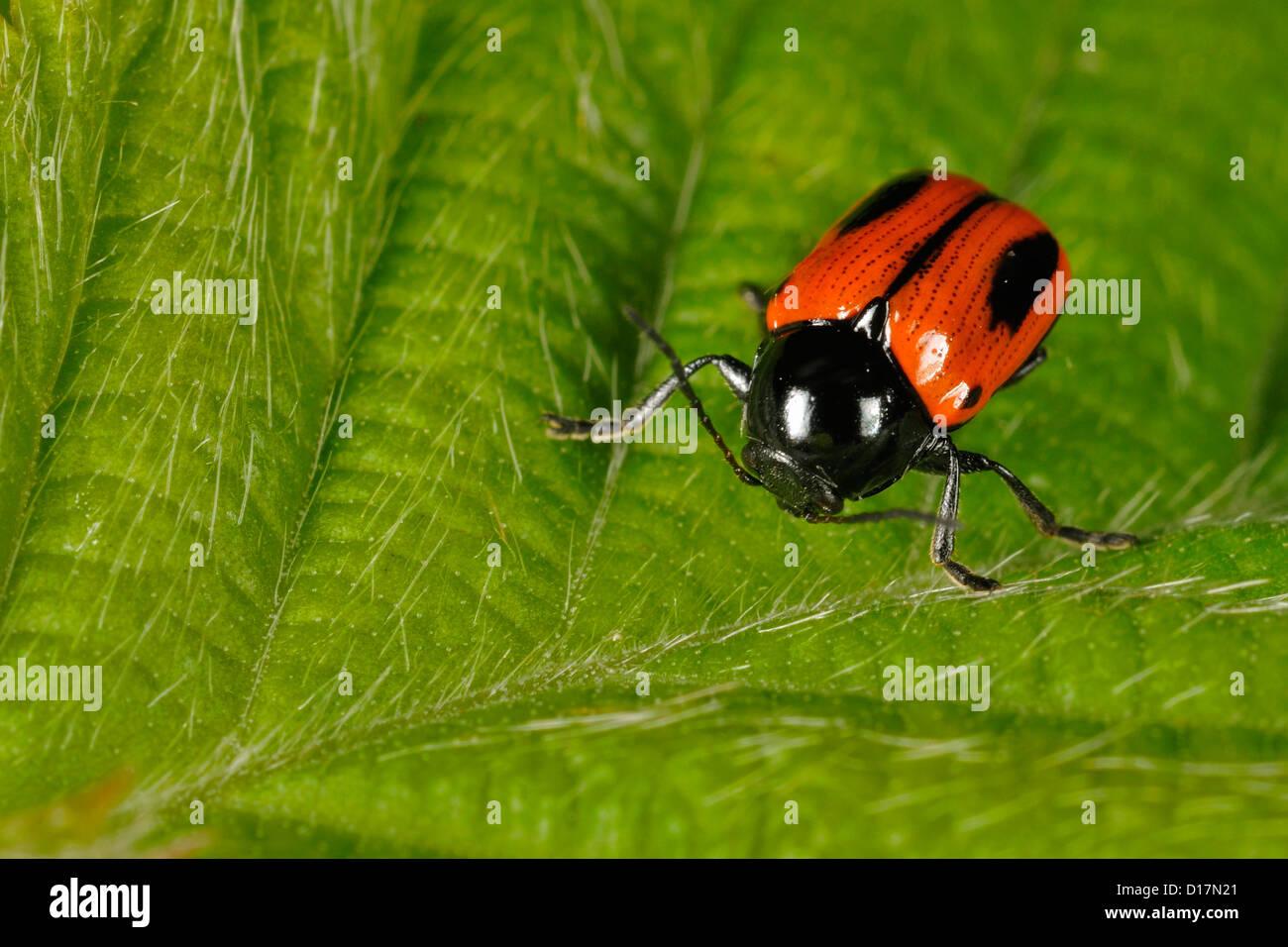 Four-spotted leaf beetle stalk Clytra laeviuscula, Crisomelidae, Campaegli, Monti Simbruini regional Park, Lazio, - Stock Image