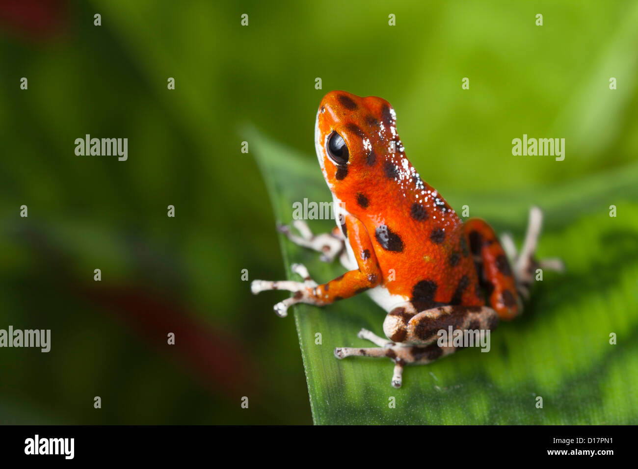 red frog strawberry poison dart frog in tropical rainforest Panama Bocas del Toro - Stock Image