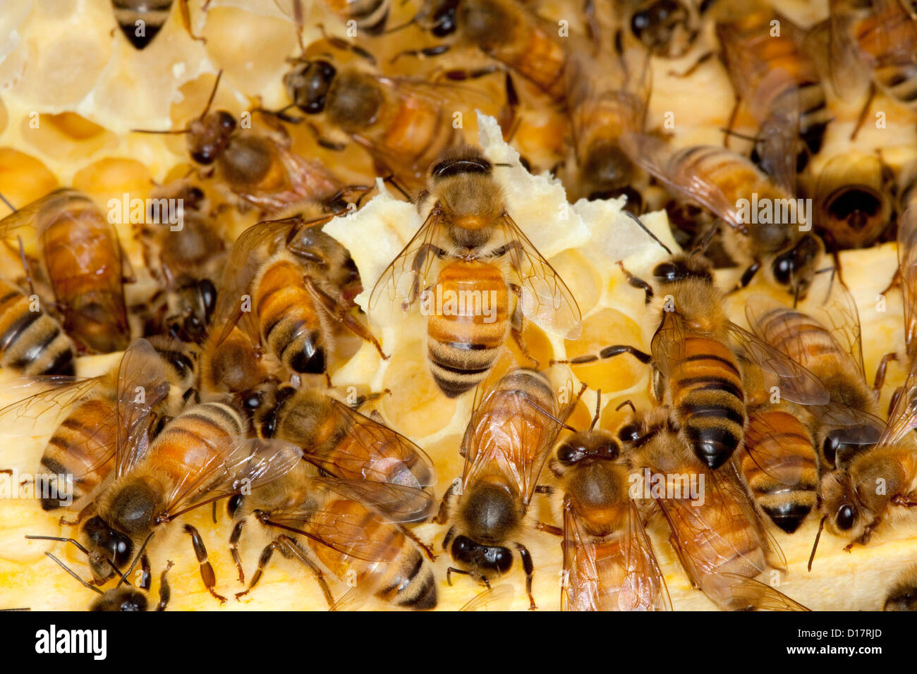 A colony of bees in a beehive. - Stock Image