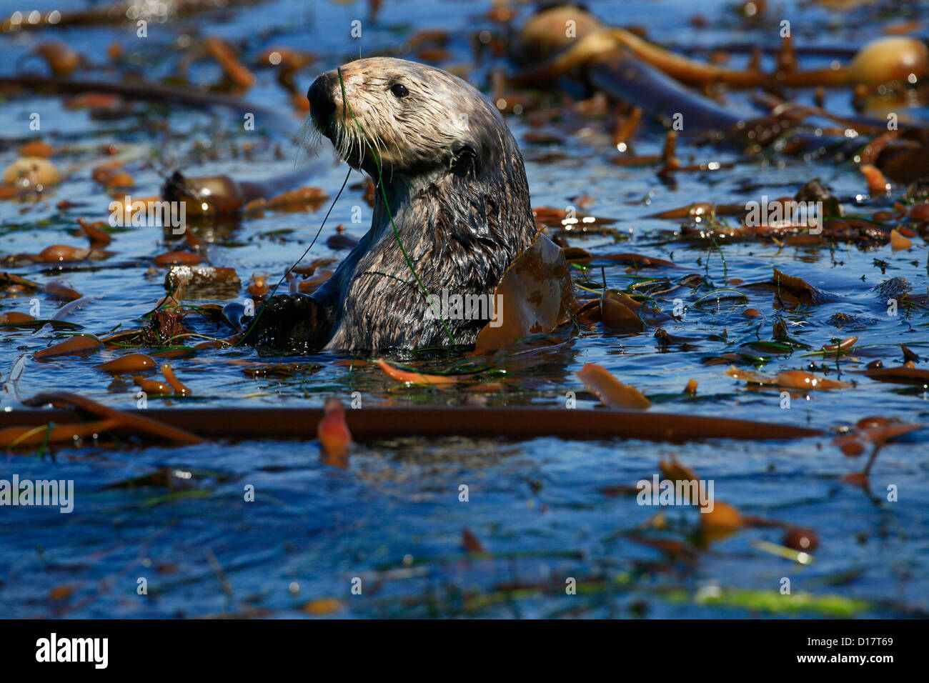 A southern sea otter (Enhydra lutris nereis) in Elkhorn Slough, California. - Stock Image