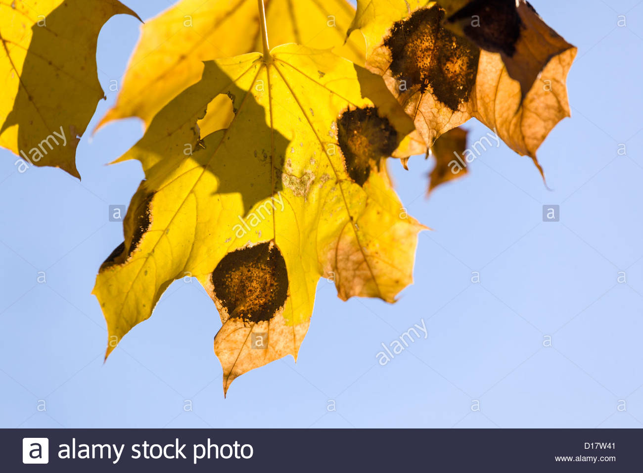 Tar Spot Disease, caused by Rhytisma acerinum fungus, on a maple leaf in autumn in Toronto Ontario Canada - Stock Image