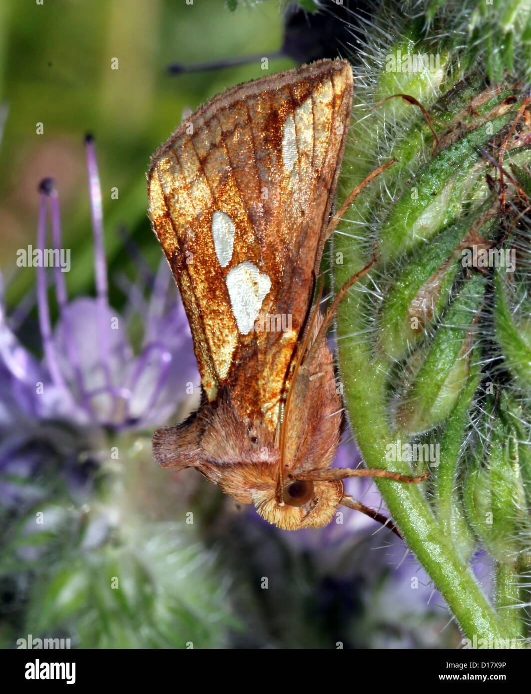 Detailed macro image of a Gold Spot-owl (Plusia festucae, an owlet moth) posing on a purple flower (phacelia or Stock Photo