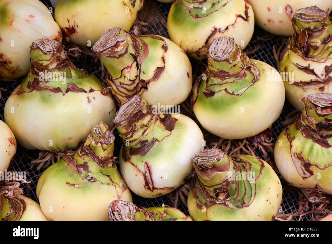 Holland amsterdam flowers market belladonna lily bulbs amaryllis holland amsterdam flowers market belladonna lily bulbs amaryllis for sale izmirmasajfo Image collections