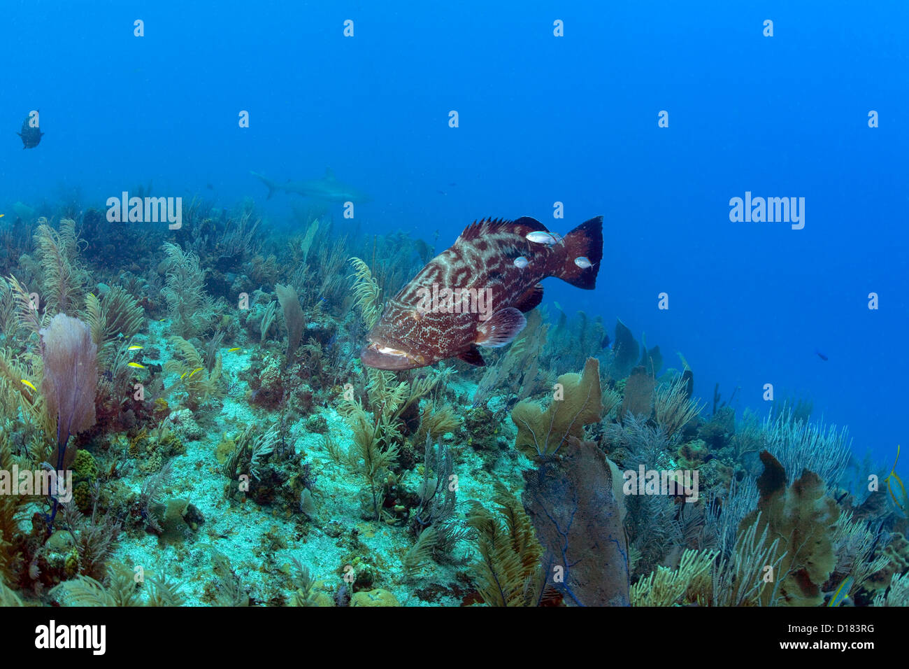 A grouper swims over a coral reef. - Stock Image