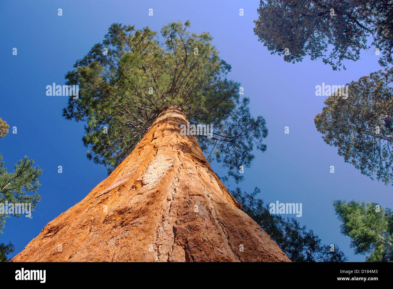 Looking up the trunk of a Giant Sequoia Tree in Yosemite National Park California. - Stock Image