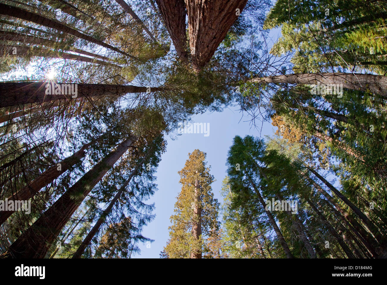 Looking up towards the tops of Sequoia trees at Yosemite National Park. - Stock Image