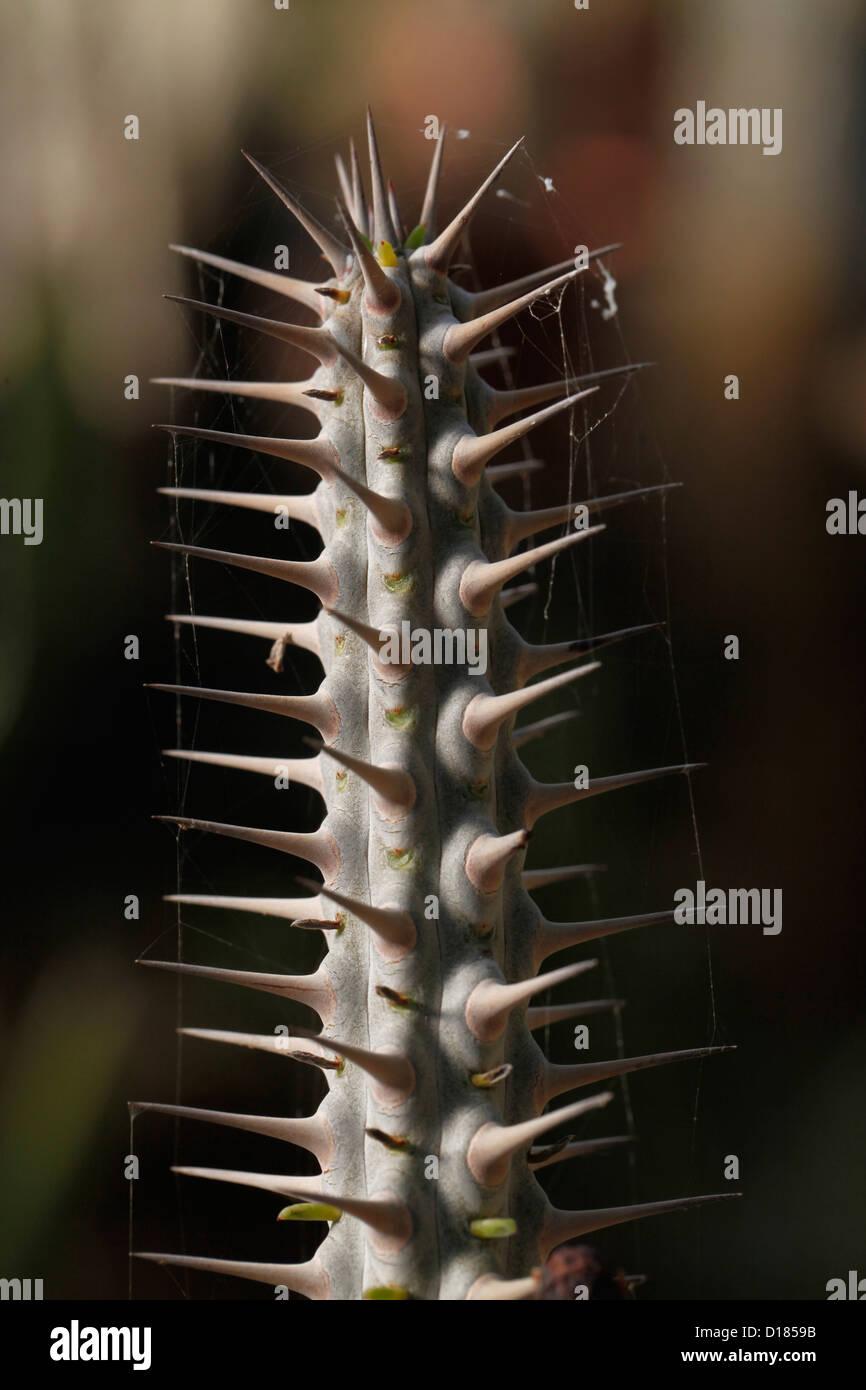Detail of the thorny Euphorbia astisyphilitics Euphorbiaceae plant Mexico - Stock Image