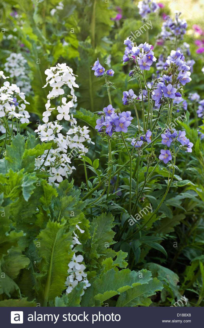Hesperis Matronalis Alba Sweet Rocket White Flower