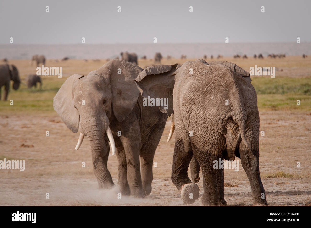 Two African bull elephants in fight - Stock Image