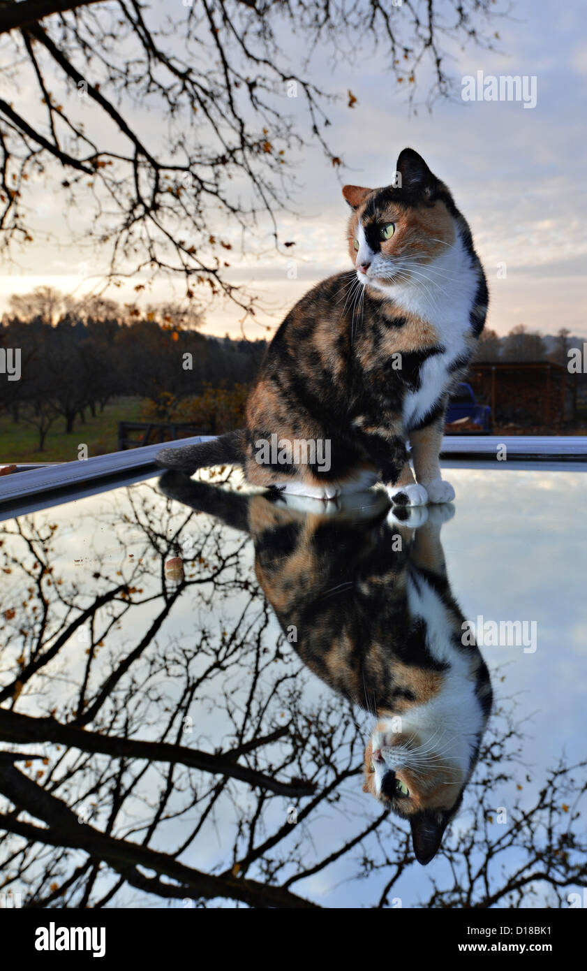 Nov. 16, 2012 - Roseburg, Oregon, U.S - A domestic cat sits on a mirror on the roof of a parked car in the driveway - Stock Image