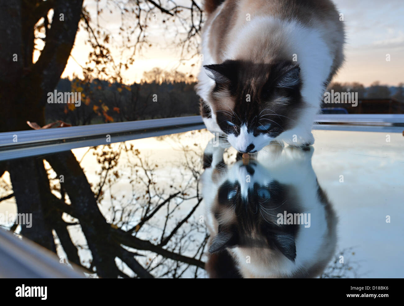 Nov. 16, 2012 - Roseburg, Oregon, U.S - A domestic cat looks into a mirror on the roof of a parked car in the driveway - Stock Image
