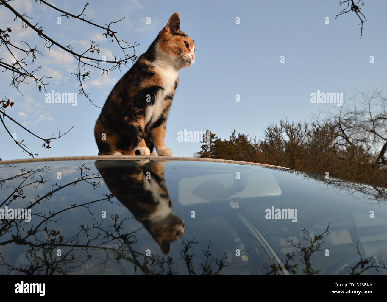 Nov. 16, 2012 - Roseburg, Oregon, U.S - A domestic cat sits on the roof of a parked car in the driveway of a home - Stock Image