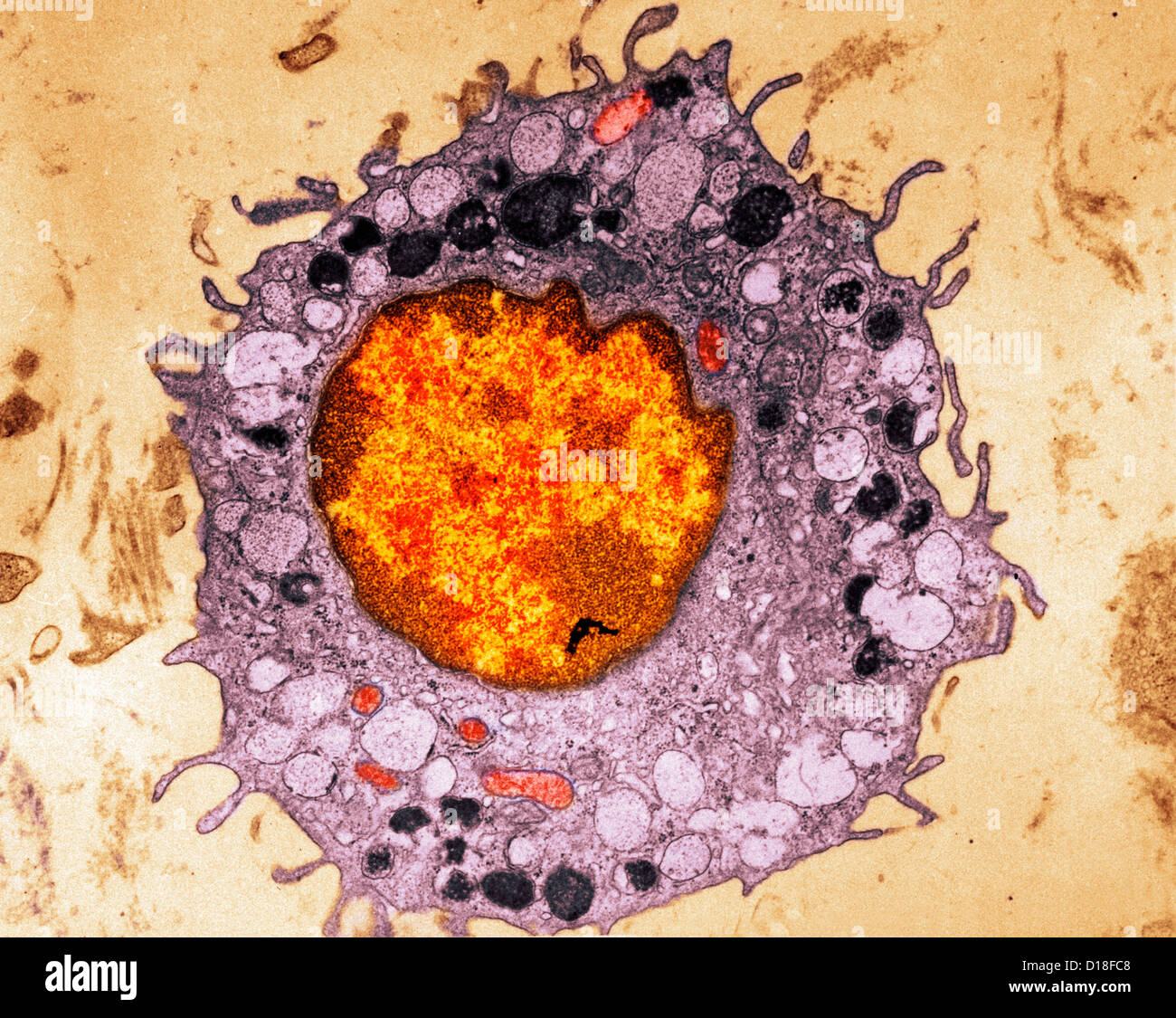 Electron micrograph of mammalian cell - Stock Image