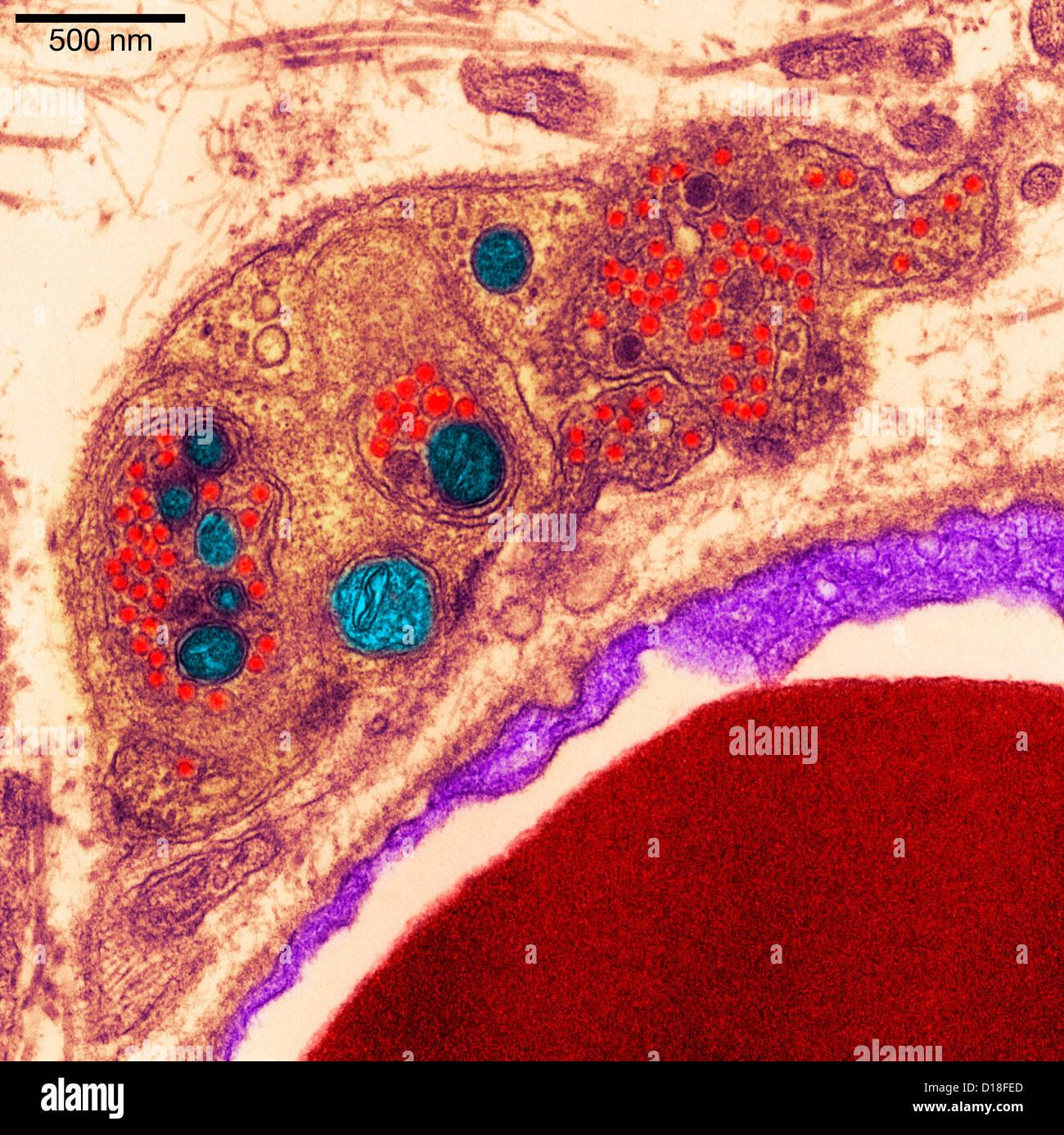 Transmission Electron micrograph pancreas Stock Photo