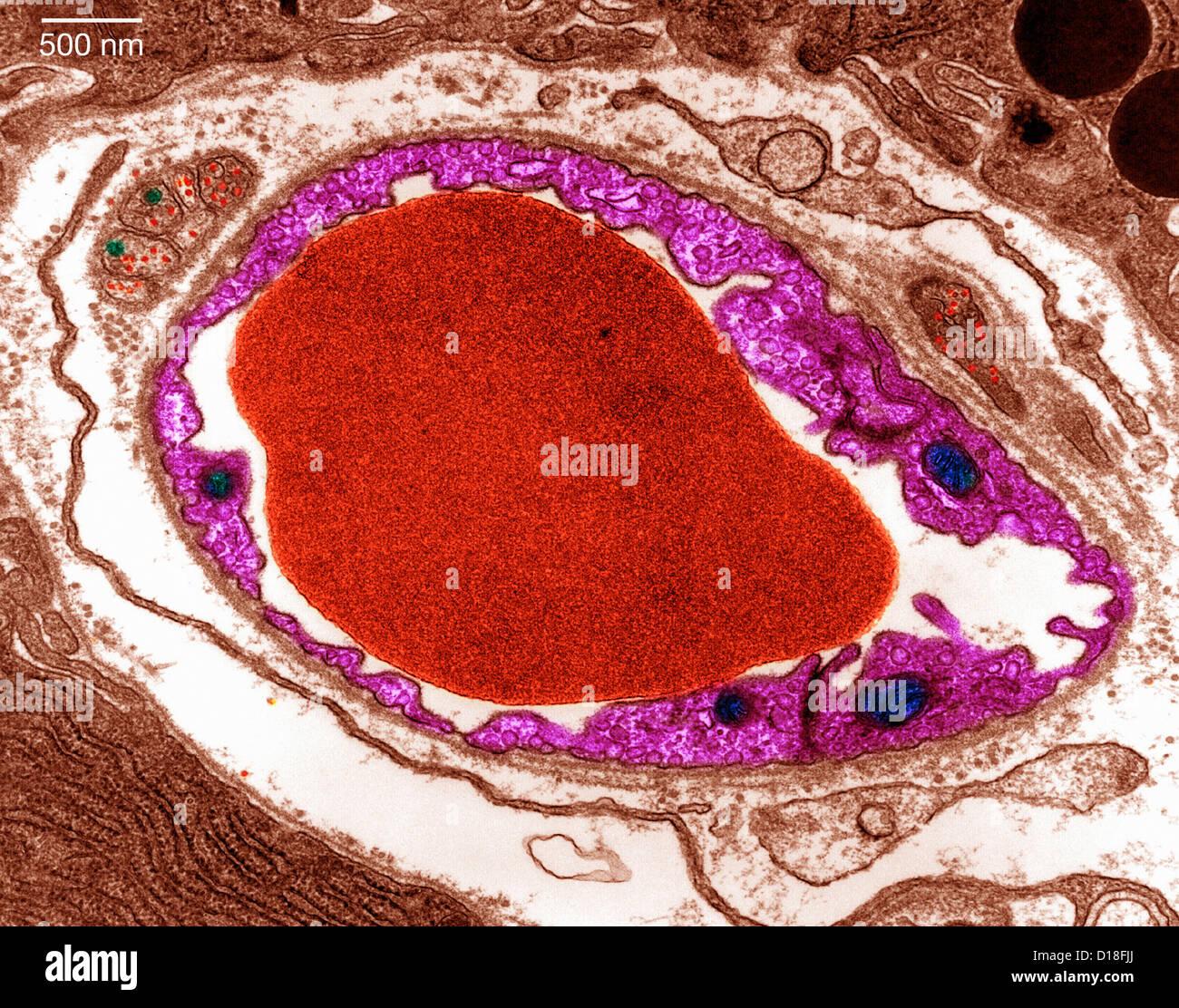 Transmission Electron micrograph pancreas - Stock Image